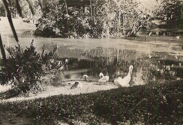 Aigrettes_dans_parc Việt Nam vào năm 1950 của ông Urbain CALESTROUPAT