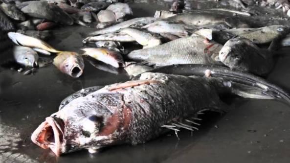 Cá chết hàng loạt tại Hà Tĩnh.